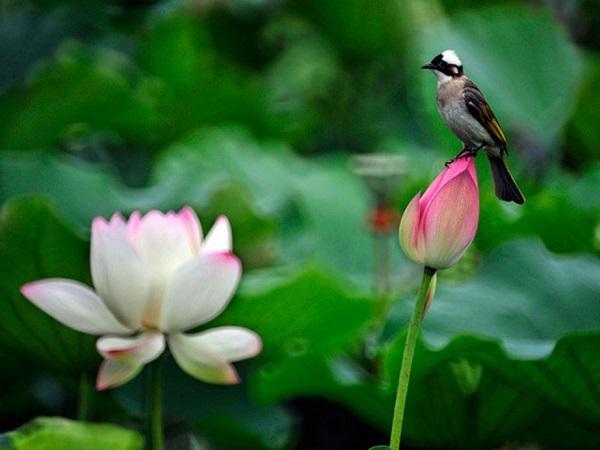 Mơ thấy hoa sen điềm báo lành hay dữ?